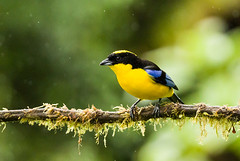 0P7A1992   Blue-winged Mountain Tanager, Ecuador