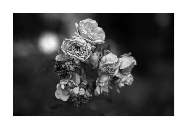 Rose of September