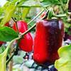 Früchte des Paprikabaums.