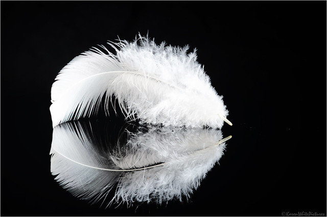white leghorn feather