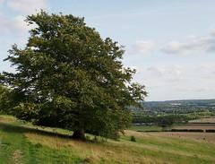 Hillsede oak