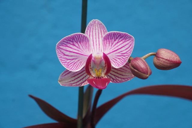 Pink Miniature Phalaenopsis Orchids at home.