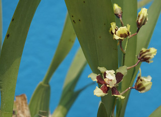 Oncidium Orchids (a rich cocoa scent) at home. | by ER's Eyes - Our planet is beautiful.