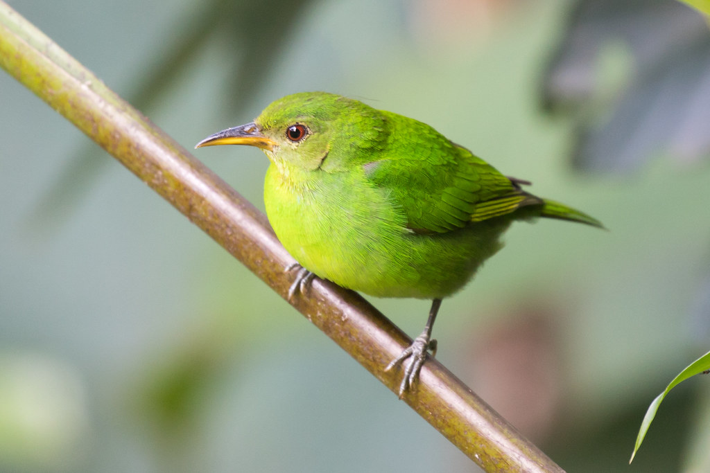 Green Honeycreeper, female (Chlorophanes spiza)