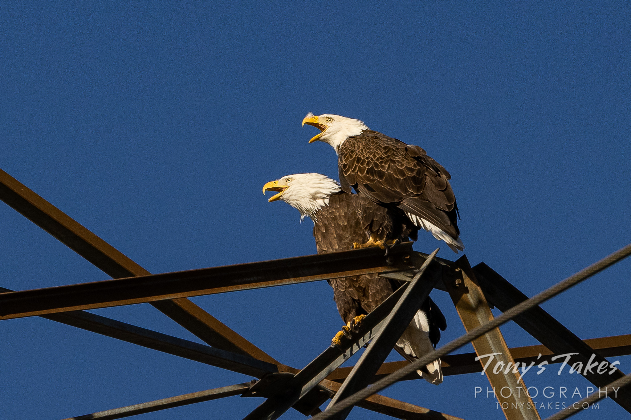 Bald eagle pair making some noise for Freedom Friday