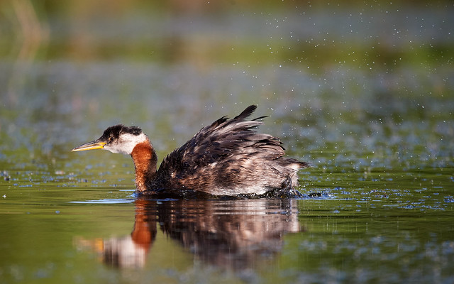 Red-throat Grebe shaking off_1