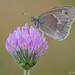 An Inornate Ringlet butterfly