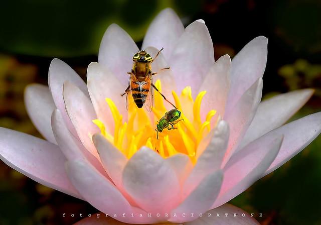 - MOSCA TIGRE Eristalinus taeniops & METALICA euglossa dilemma en flor de NENUFAR.!  toma botanico THAYS ! Argentina