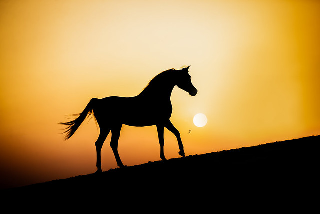 The Arabian stallion during a desert sunset.