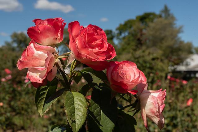 Schenectady Rose Garden