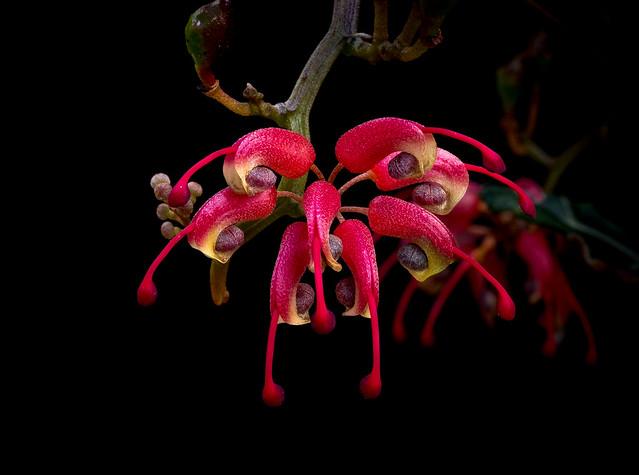 Grevillea patentiloba subsp. platypoda