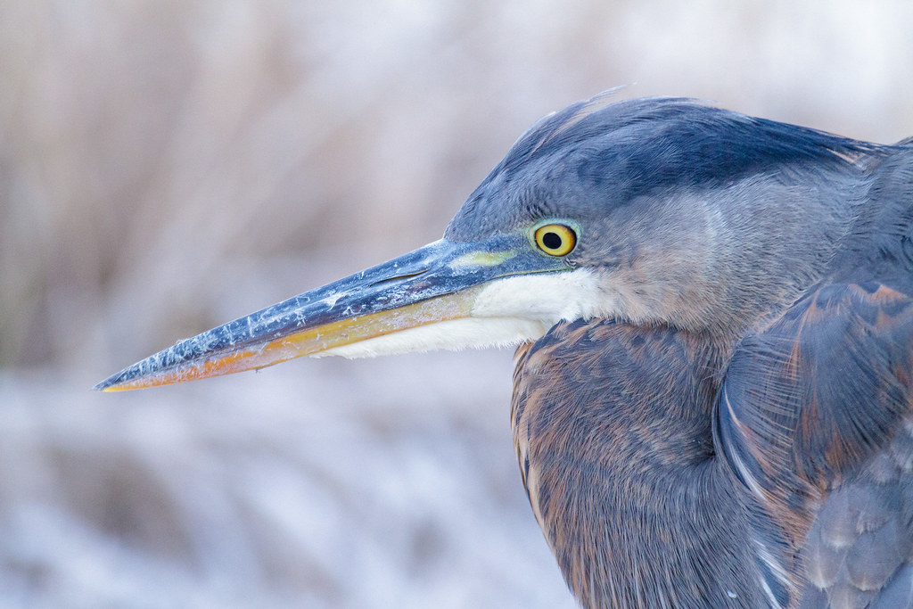A close-up of a juvenile great blue heron against a frosty backdrop, taken at Horse Lake at Ridgefield National Wildlife Refuge in Ridgefiel, Washingon on January 1, 2011. Original: _MG_1684.cr2