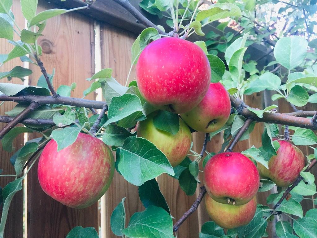 Fall Harvest Apples