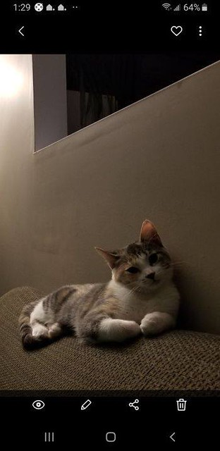 LOST dsh Calico cat in #ranchlands since Sept 17. Call 403-471-2935 if sighted/ found. Pls rt, share, watch, help find MISTY. Hello there. My calico cat has been missing from the Ranchlands area for 2 days. Her name is Misty. She wears a red collar with a