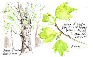 20Sept2020 Plane tree