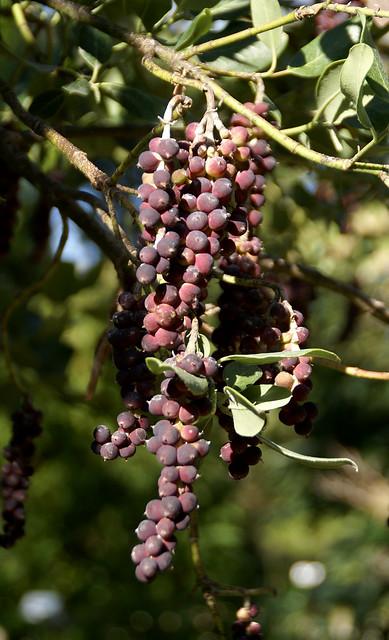 Becherkätzchen, Früchte - Fremont silktassel fruit (Garrya fremontii)