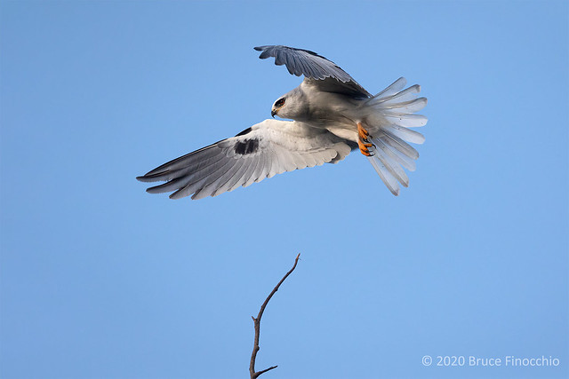 At The Last Minute A White-tailed Kite Decides Against Landing On A High Single Branch
