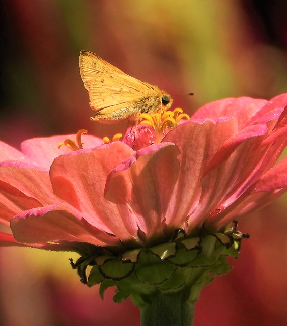 Fiery Skipper in the Dahlia Garden