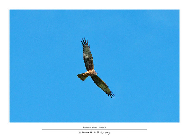 Australasian Harrier looking for a meal