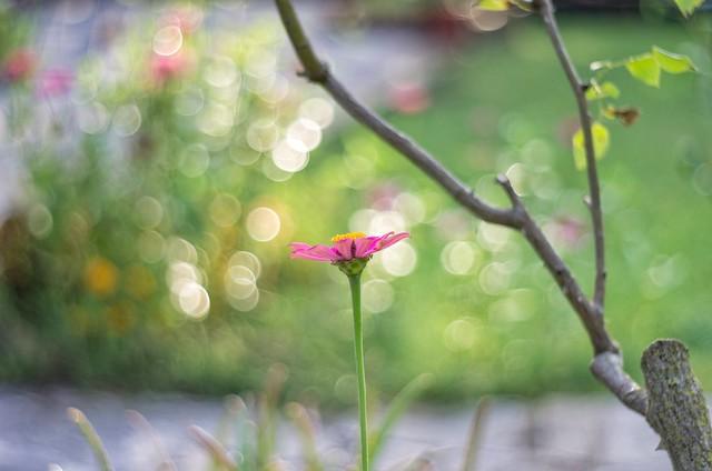 Zinnia in the garden