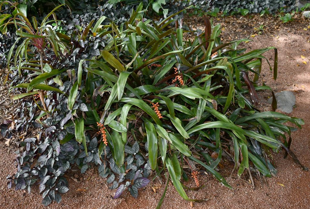 Aechmea? and Hemigraphis alternata, Queens Gardens, Townsville, QLD, 15/09/20