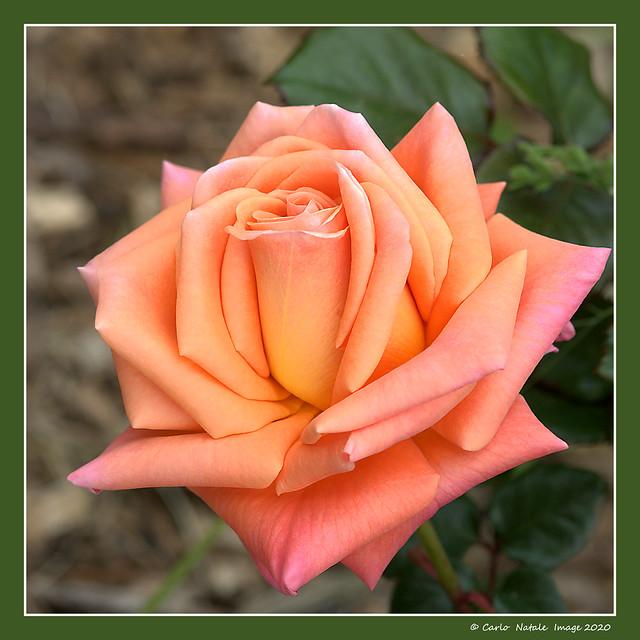Rose roll - 2