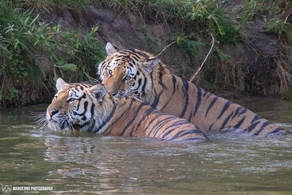 Siberian Tigers - Safaripark Beekse Bergen - The Netherlands