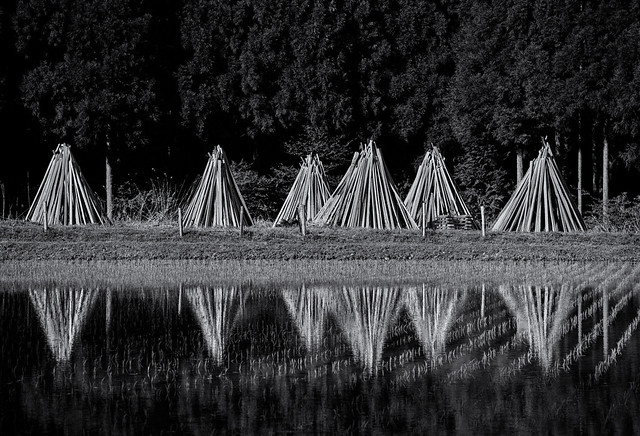 Stacked poles by a rice field