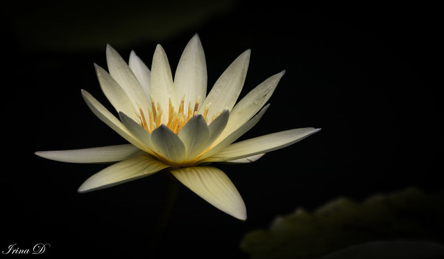 Star of the pond