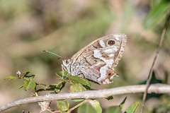 Chevron Blanc – Striped Grayling – Hipparchia fidia