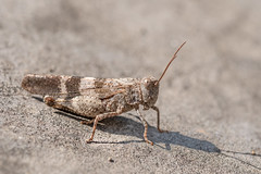 Oedipode Rouge – Red-winged Grasshopper – Oedipoda germanica