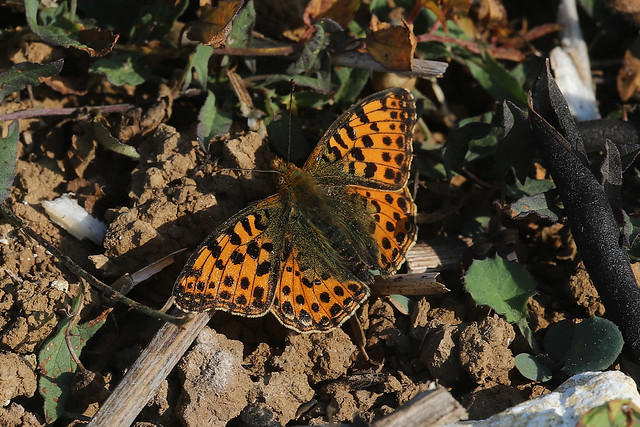 Queen of Spain Fritillary Issoria lathonia