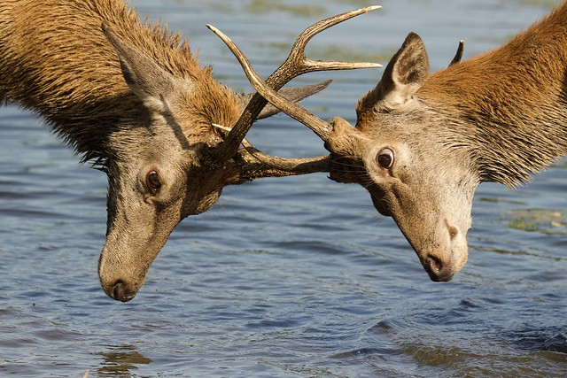 Young Stags Rutting