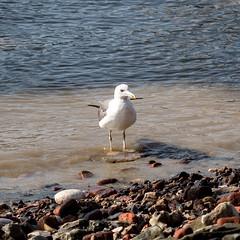 Thames seagull