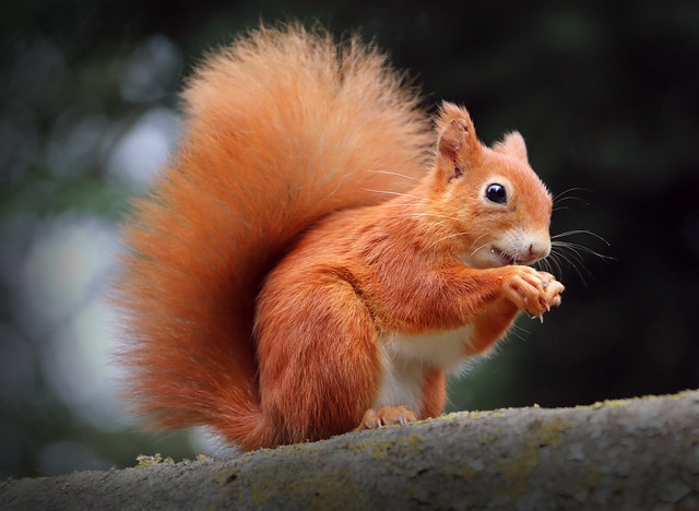 Red Squirrel Panic Buying