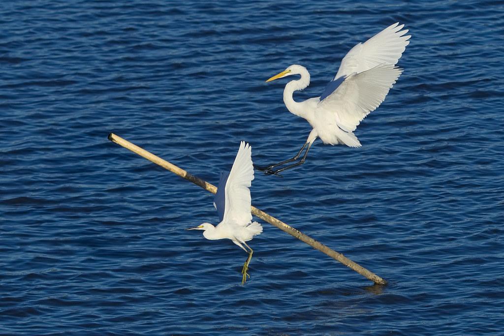 Flight of Egrets
