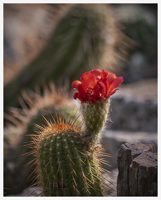 TBG #9 2020; Really Red Cactus Blossom