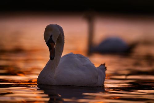 sunset swan wildlife bird photography jonathan casey norfolk broads whitlingham broad