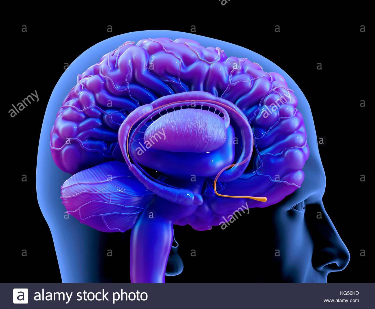 https://www.alamy.com/stock-image-human-brain-olfactory-bulb-illustration-164842817.html?pv=1&stamp=2&imageid=E18B4B6D-951B-4158-A93F-CD9DC660EA75&p=96894&n=0&orientation=0&pn=1&searchtype=0&IsFromSearch=1&srch=foo%3dbar%26st%3d0%26pn%3d1%26ps%3d100%26sor