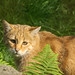 Europäische Wildkatze (Lat. Felis silvestris silvestris)