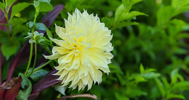 A perfect yellow Dahlia for my mom's birthday!