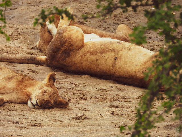 RESTING LIONS
