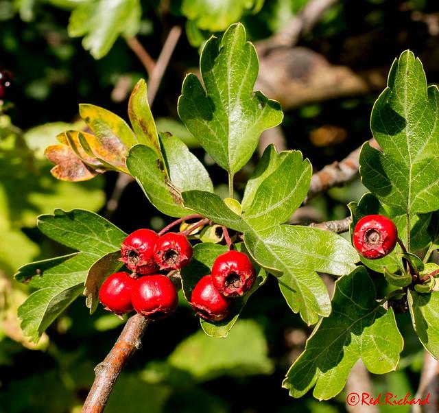 Berries (214-3597)