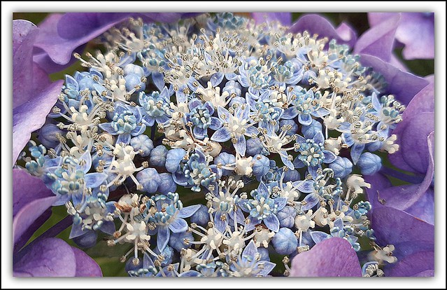 Flower Of The Day - Hydrangea