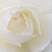 White Rose, 11.10.17