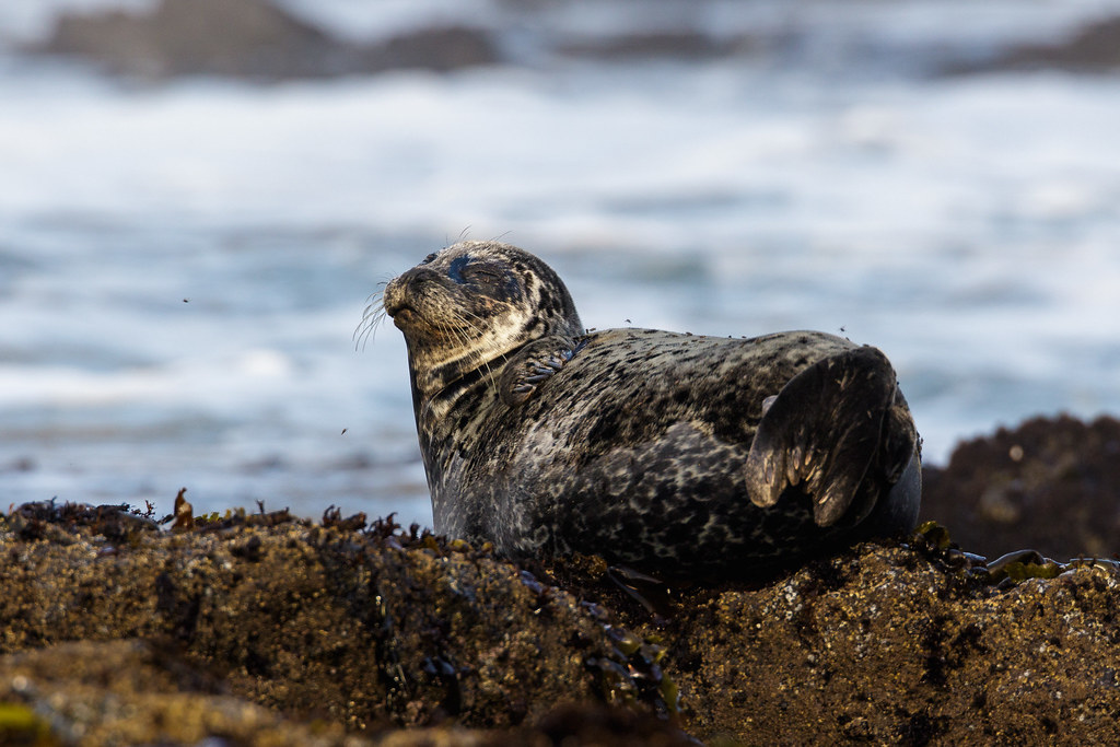 A harbor seal rests after shooing away files at Yaquina Head Outstanding Natural Area in Newport, Oregon on October 8, 2017. Original: _L1A0448.cr2