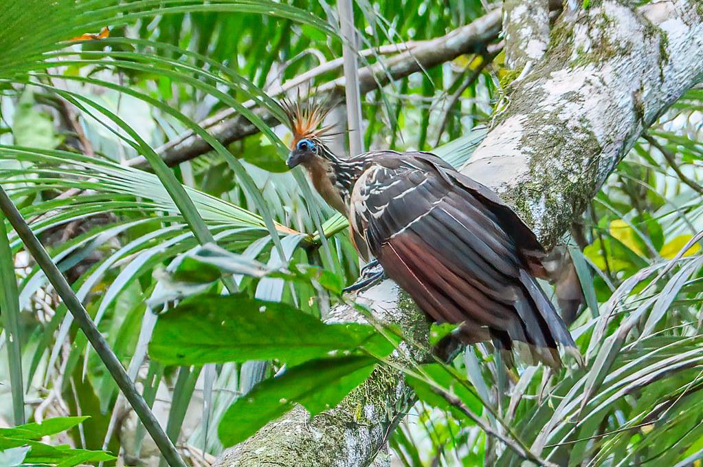 Hoatzin (Opisthocomus hoazin), Napo, Ecuador