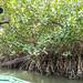 Huîtres des palétuviers ( Casamance ) [ SÉNÉGAL ]