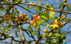 Russian Federation, Nature of Moscow, the Small Apples (Malus Purpurea, Rosaceae) ripened in the Middle Garden of Alexandrovsky (Alexander) Garden near Kremlin Wall, Manezhnaya Street, Tverskoy district.