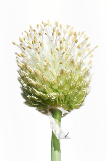 20200920_2940_7D2-100 Onion bloom in high key (264/366)